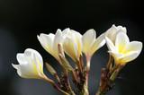 Paradise frangipani. Flowers of Borneo.