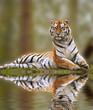 Beautiful tiger sitting upright reflection in water
