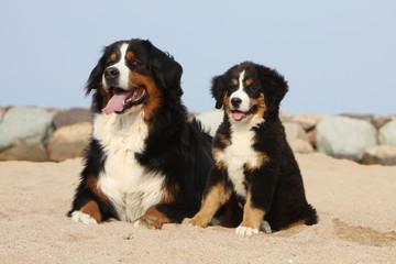chienne bouvier bernois et son chiot sur le sable