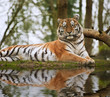 Stunning close up image of tiger relaxing on warm day reflection