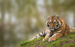 Beauttiful image of lovely tiger cub relaxing on grassy mound