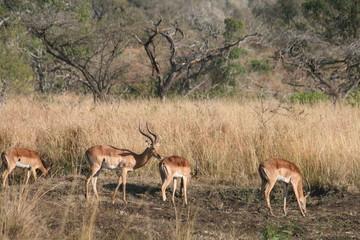 impala,s