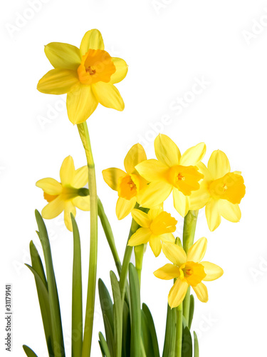 Canvas Narcis Osterglocke