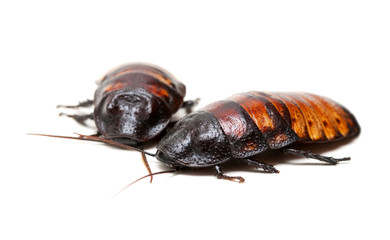 two Madagascar cockroaches