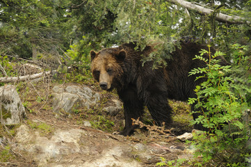 Grizzly Bear, Grouse Mountain, Vancouver,British Columbia Canada