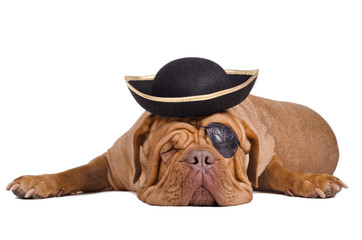 Caribbean pirate puppy wearing eye patch and black-gold hat