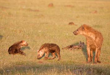 Family Of Spotted Hyena