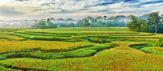 Paddy rice panorama