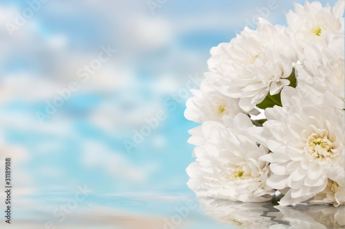 Wight chrysanthemum lays in the water
