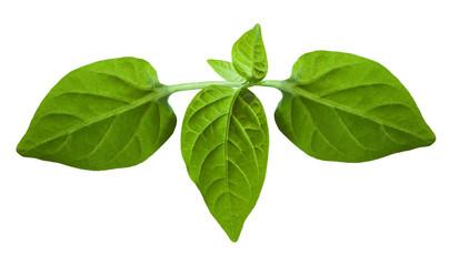 Plantlet of sweet pepper