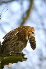 tawn owl with vole