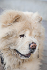 Chow chow vertical