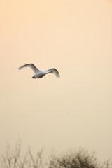 Male Mute Swan in flight at sundown