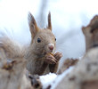 胡桃を食べるエゾリス