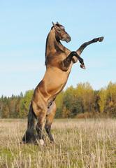 Golden akhal-teke stallion rears