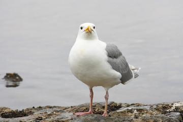 gull looks