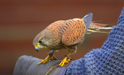 Kestrel on a falconer's arm