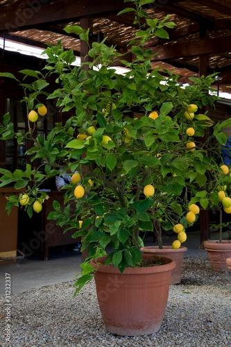 Pianta di limone immagini e fotografie royalty free su for Pianta di limone