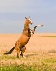 bay akhal-teke stallion on the field