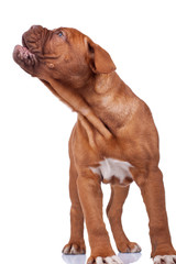 French mastiff  barking