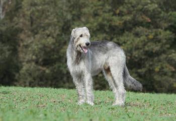irish wolhound debout,tête tournée