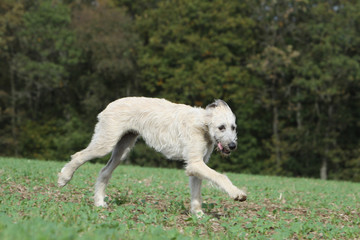irish wolfhound running