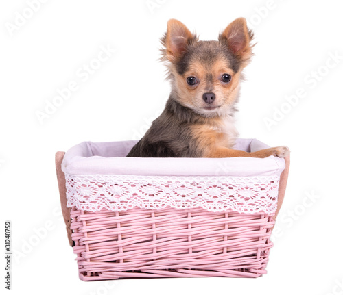 Chihuahua puppy girl (bitch) in pink basket