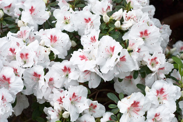 White Azelea Flower Blossoms