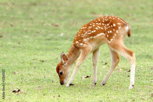 Fotobehang Hert sika deer fawn