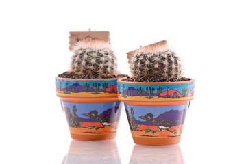 Cacti Growing in Pots