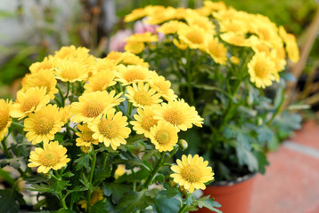 Beautiful Yellow Flowers in Garden