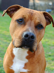 Brown dog-Bull terrier