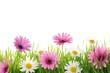 Daisy flower in green grass