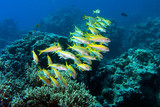 Yellowfin goatfishes in red sea, mulloides vanicolensis poster