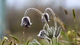 beautiful black pulsatilla