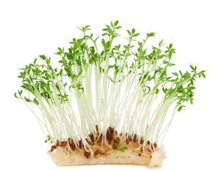 Garden crees ( Lepidium sativum).