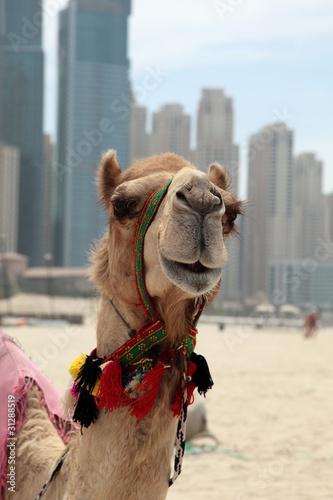 Papiers peints Chameau Camel