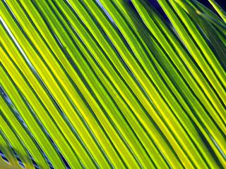Palmwedel im Gegenlicht