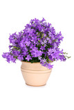 Fototapety Campanula bell flowers