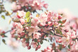 Pink apple blossoms in spring