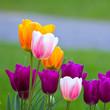 Tulipe x 6