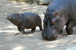 Hippopotamus with Baby