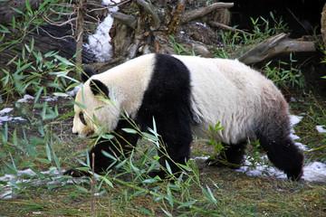 Giant panda bear walking in Vienna Zoo, Austria
