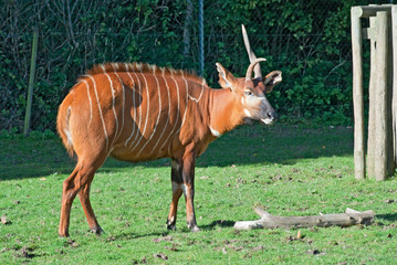 Bongo antelope (Tragelaphus eurycerus) with different horns