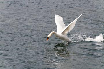 Swan rising.