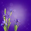 Iris bleus, fond violet
