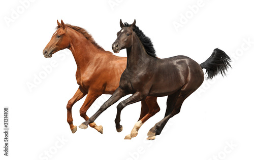 Gallop horses isolated