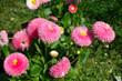rosa Gänseblümchen auf Wiese