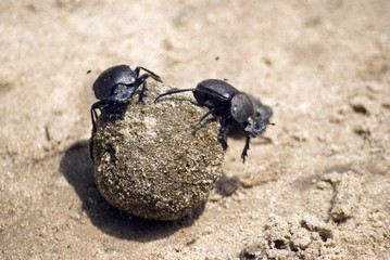 Dung beetles, Selous Game Reserve, Tanzania
