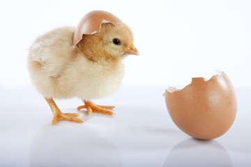 Adorable yellow baby chick and eggshell